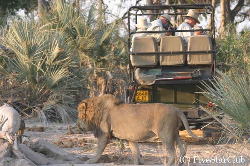 サファリカー近くを歩くライオン