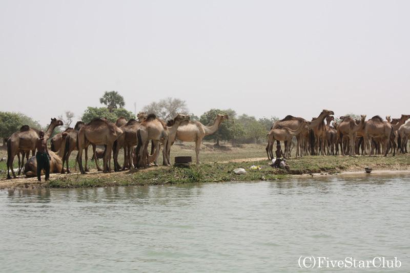 川岸に戻る ラクダ