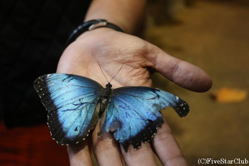 モルフォ蝶の仲間
