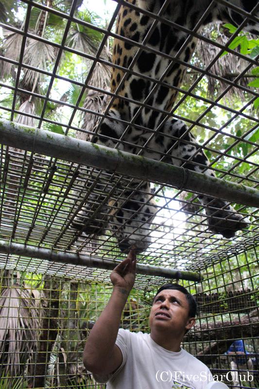 ベリーズ動物園/ジャガーに餌付け