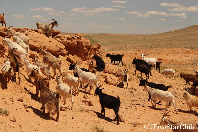 バイヤンザグを縦横無尽に移動するヤギたち
