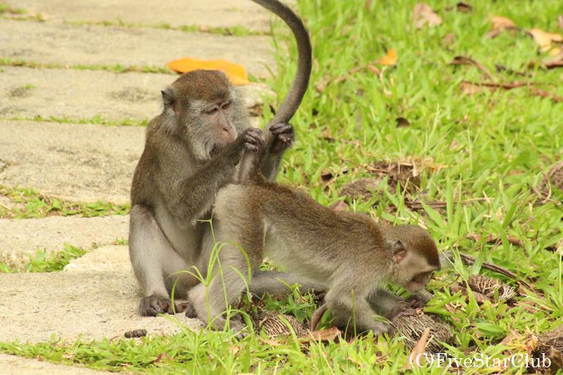 バコ国立公園/カニクイザルの親子の毛づくろい