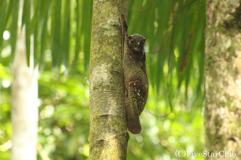 バコ国立公園/マレーシアでも珍しいマレーヒヨケザル