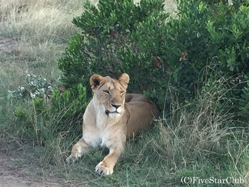 マサイマラ国立公園 ライオン