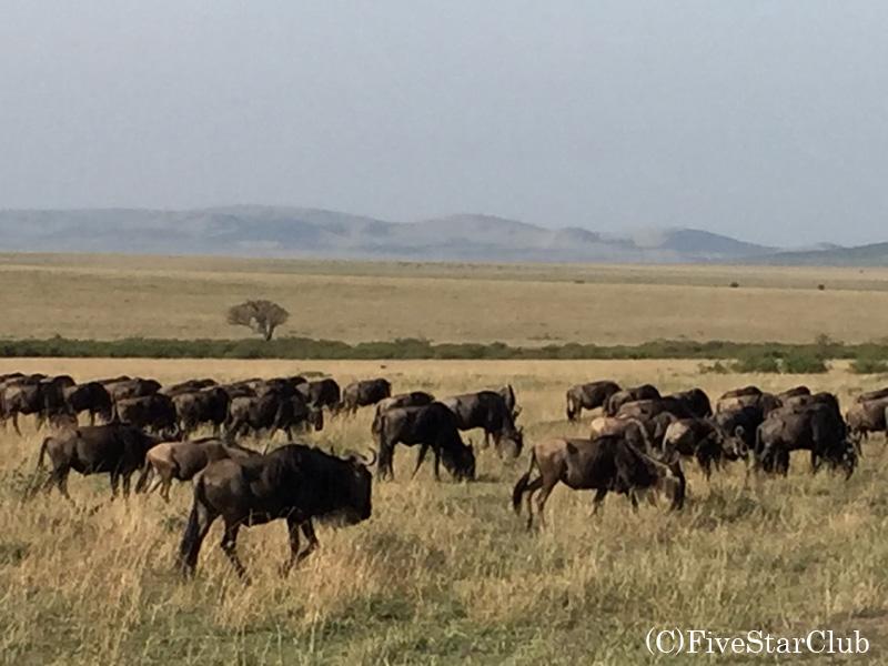 マサイマラ国立公園 ヌー