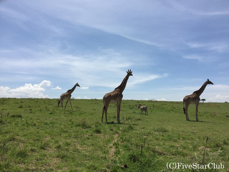 マサイマラ国立公園 キリンとシマウマ