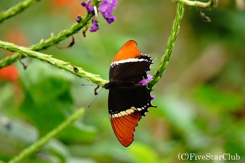 マラカイト蝶 Siproeta stelenes