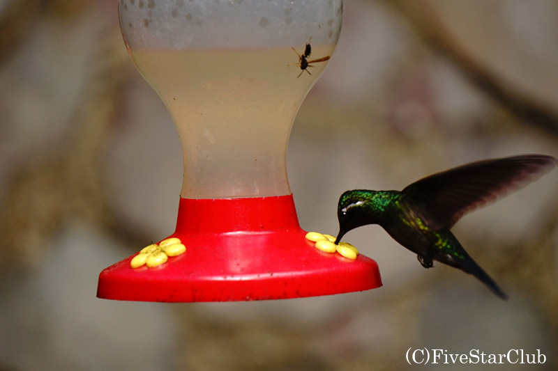 セルバトゥーラパーク ハチドリの餌づけ