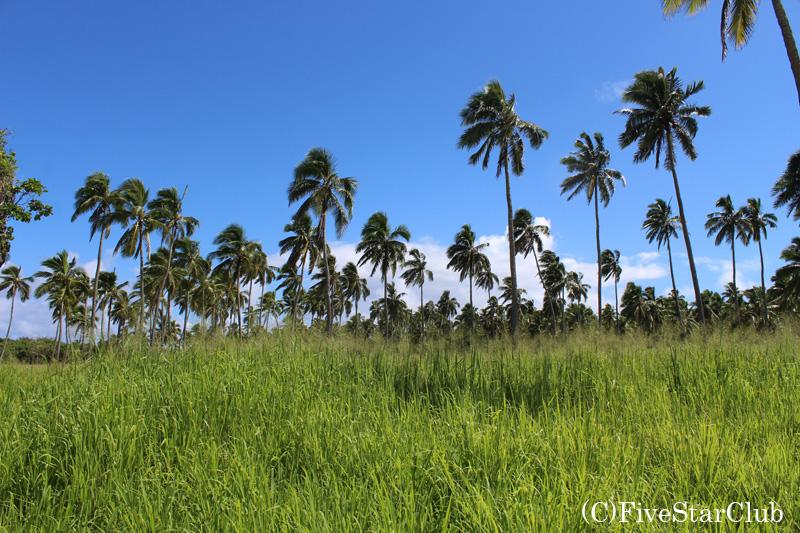トンガタプの沢山の椰子の木