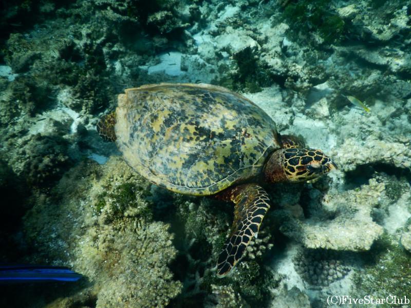 Amari Havodda Maldives/シュノーケリングツアー/カメと一緒に泳ぐ