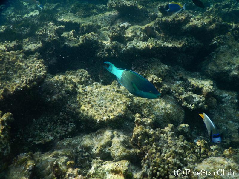 Amari Havodda Maldives/シュノーケリング/トロピカルな魚