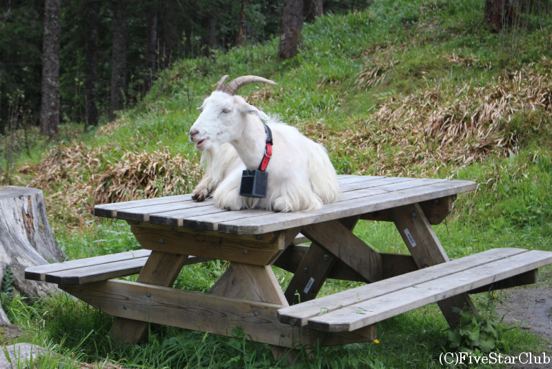 フロイエン山頂にいる山羊