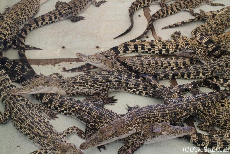 パラワン野生生物保護センター/子供ワニ