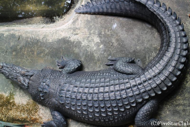 パラワン野生生物保護センター/大人ワニ