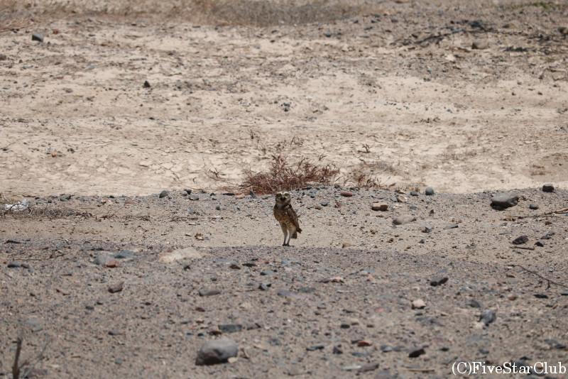 砂漠のフクロウ