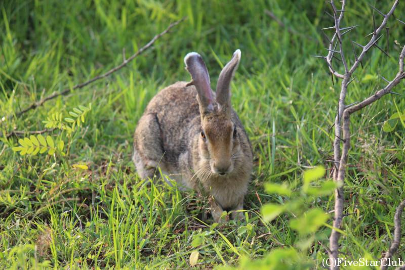 ジープサファリ スリランカクロエリウサギに遭遇!