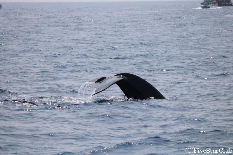 ホエールウォッチングでのクジラ