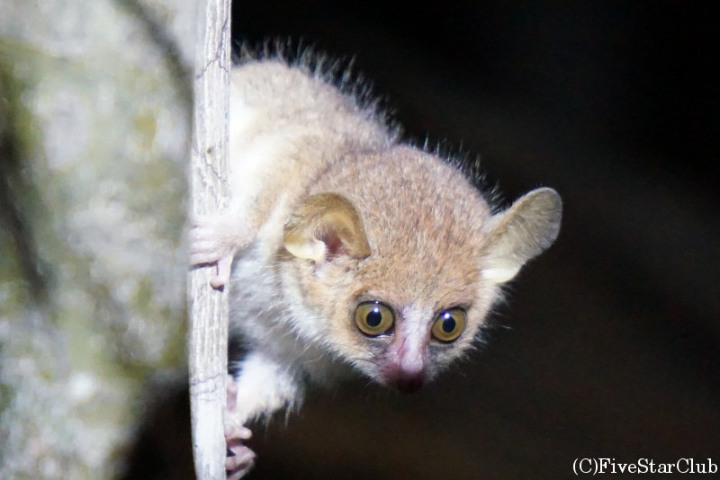 夜のウォーキングサファリ 世界最小のキツネザルMadame Berthe's mouse lemur