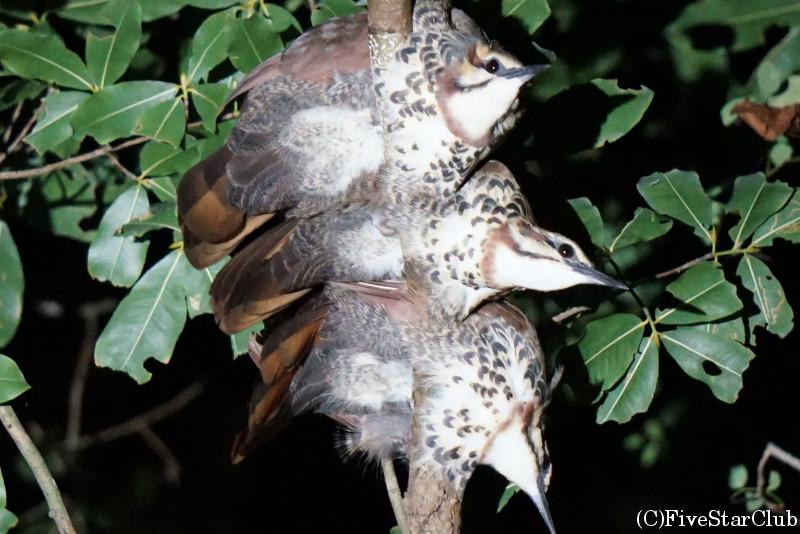 夜のウォーキングサファリ ムナジロクイナモドキ(white-breasted mesite)