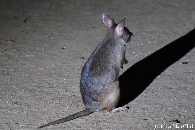 深夜にキリンディロッジに現れたGiant Jumping Rat
