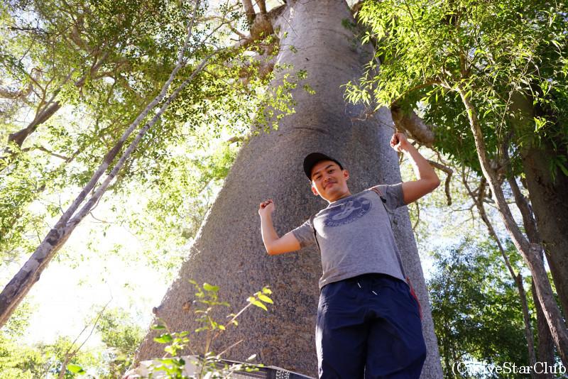 キリンディー 森林保護区近く 樹齢1000年を超えるというバオバブ
