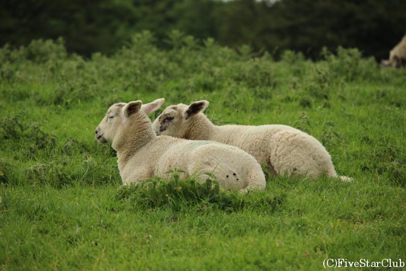 湖水地方を訪れたら一度は目にするかわいらしい羊たち