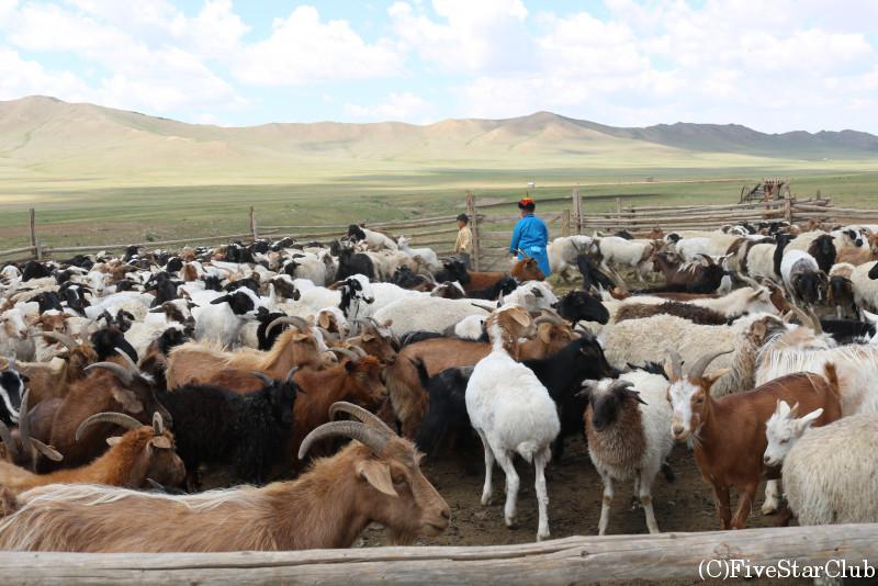 モンゴルノマディックショー 家畜のヤギたち
