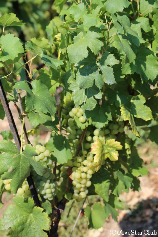 ラヴォー地区のブドウ畑