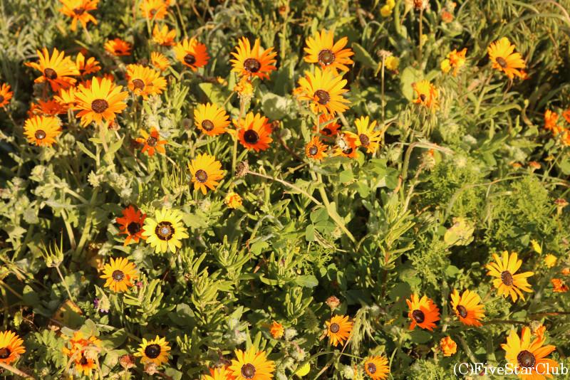 デイジーの花畑