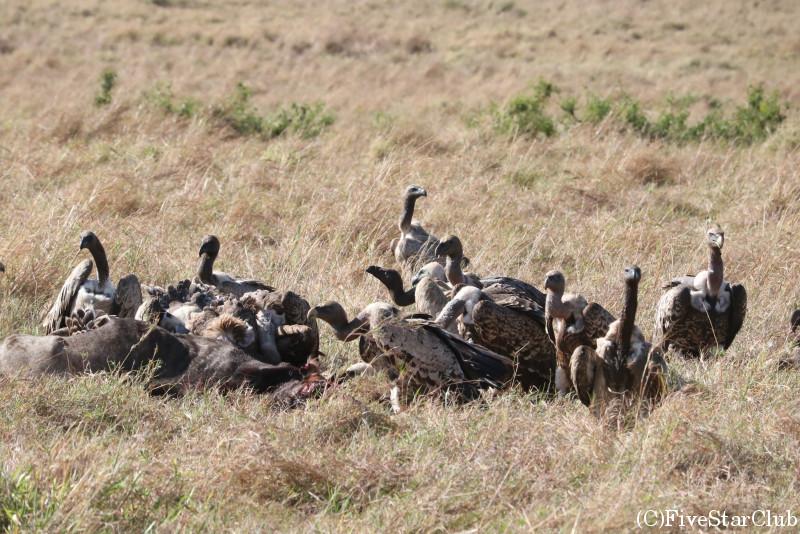 マサイマラ動物保護区でゲームドライブ/仕留められたヌーに群がるハゲタカ