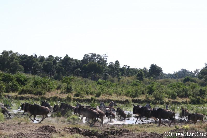 マサイマラ動物保護区でゲームドライブ/ヌーの大群