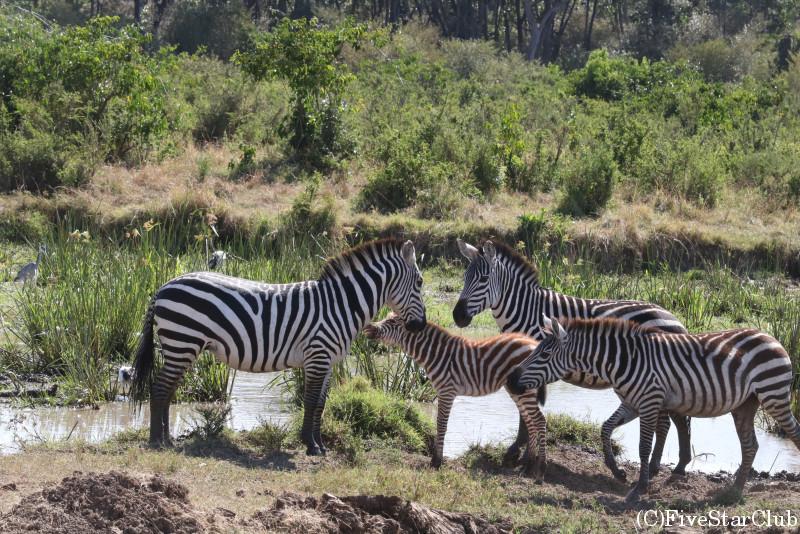 マサイマラ動物保護区でゲームドライブ/シマウマ