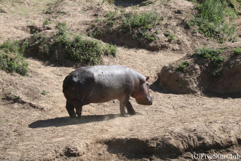 マサイマラ動物保護区でゲームドライブ/カバ