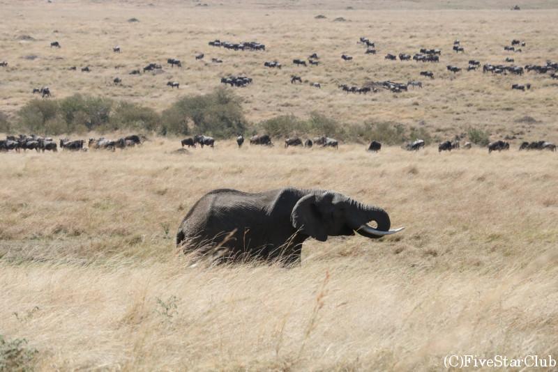 マサイマラ動物保護区でゲームドライブ/ゾウ