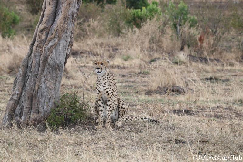 マサイマラ動物保護区でゲームドライブ/木陰で暑さをしのぐチーター