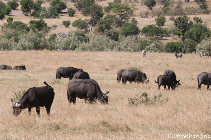 マサイマラ動物保護区でゲームドライブ/バッファロー
