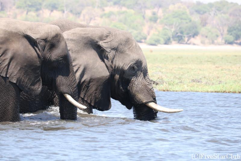 チョベ国立公園のボートサファリ/ゾウ