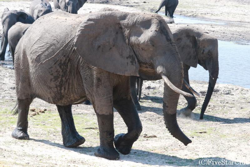 チョベ国立公園のゲームドライブ/ゾウ
