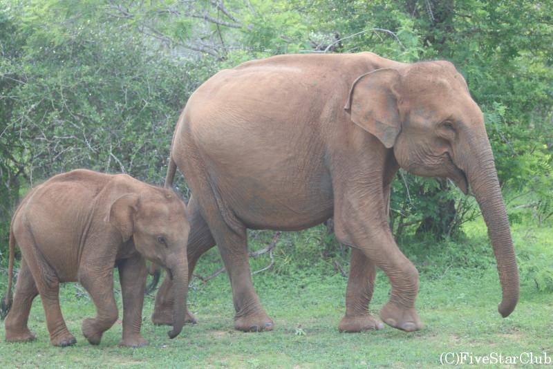 ヤーラ国立公園にて象と出会う