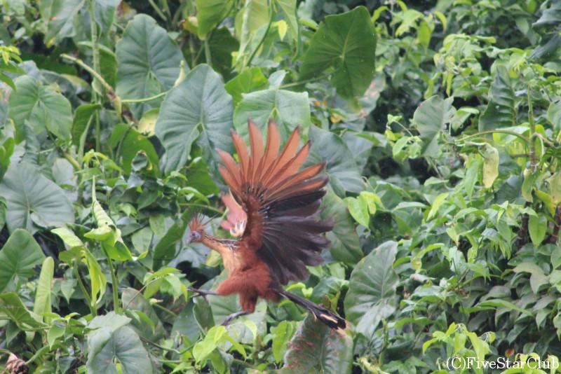 デマラ川野鳥観察クルーズツアー 国鳥ツバメケイなどが見れる