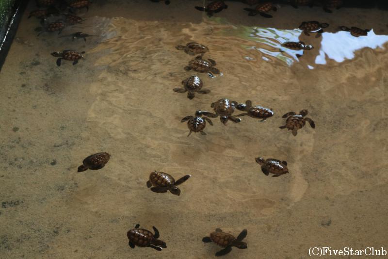 100歳のウミガメもいる養殖場『NAIWE BEACH at BLUE WATER』