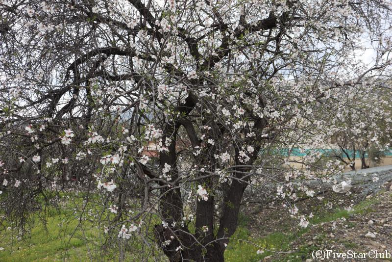 アーモンドの花 (アーモンド祭りの前日だった)