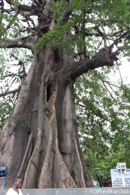 コットンツリー