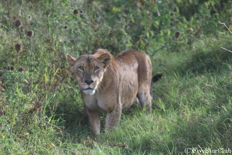 車に近づいて来る雌ライオン