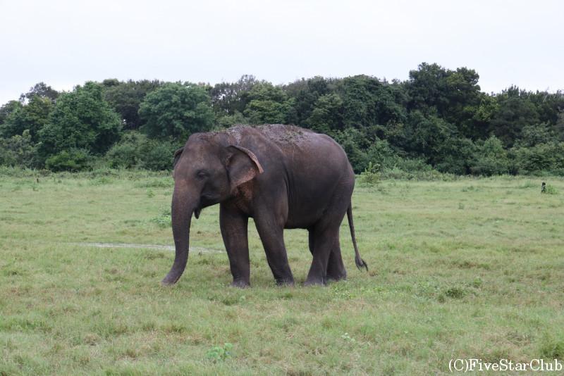 カウドゥッラ国立公園 大きな象を間近で見学!