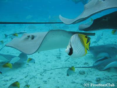 サメとエイの餌付け (ボラボラ島)
