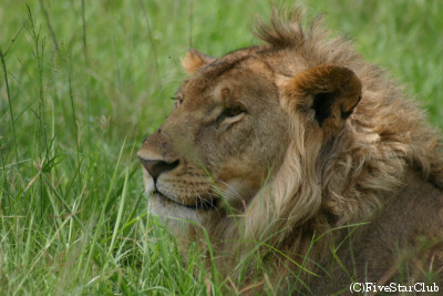 ライオン (マサイマラ動物保護区)