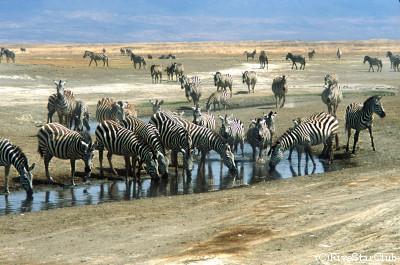 シマウマ(ンゴロンゴロ動物公園)