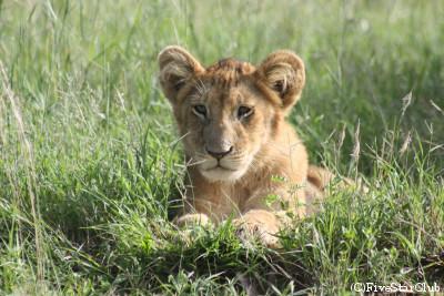 子ライオン(マサイマラ動物保護区)
