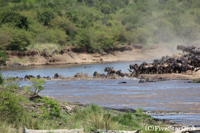 ヌーの川渡り(マサイマラ動物保護区)